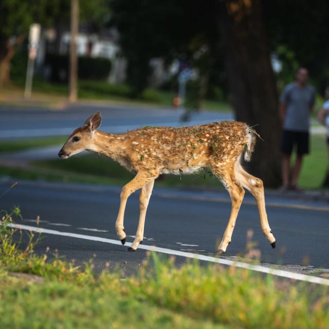 """baby deer crossing a city street"" stock image"
