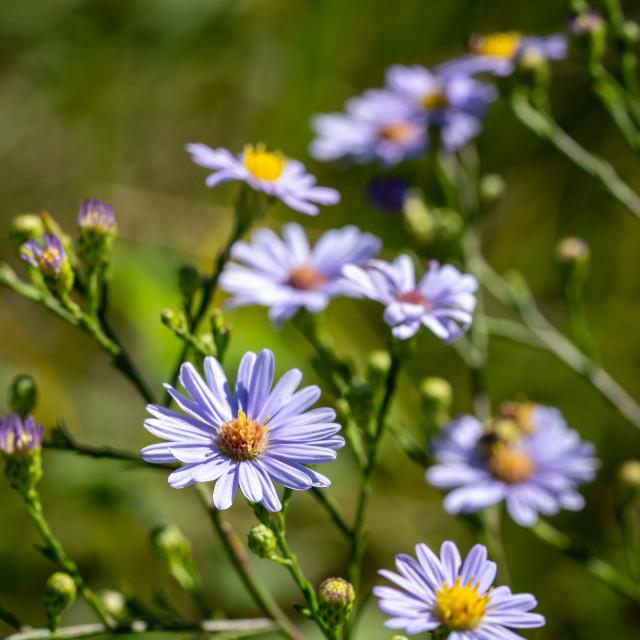"""small purple flowers in a prairie field"" stock image"
