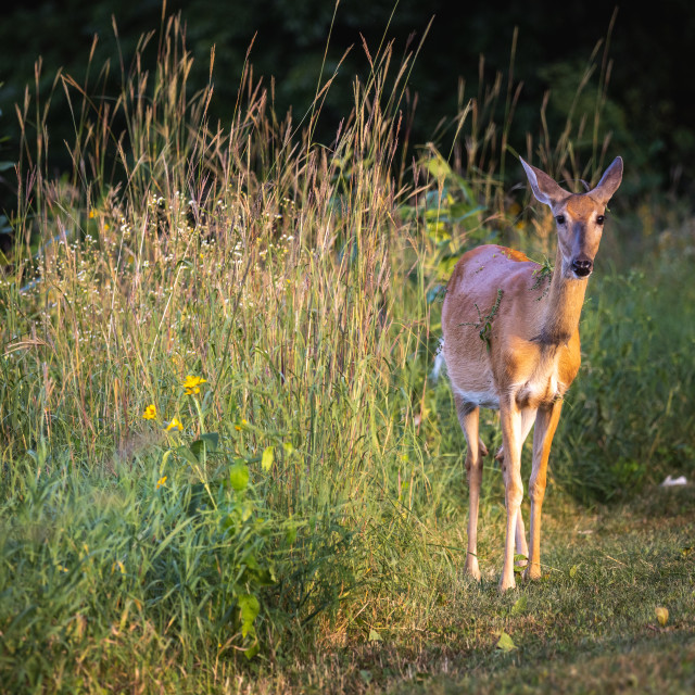 """""""female deer next to a field of tall grass"""" stock image"""