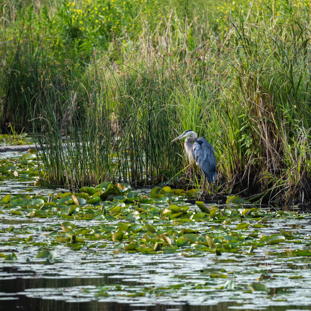 """heron standing in a wetland pond with tall grass behind"" stock image"