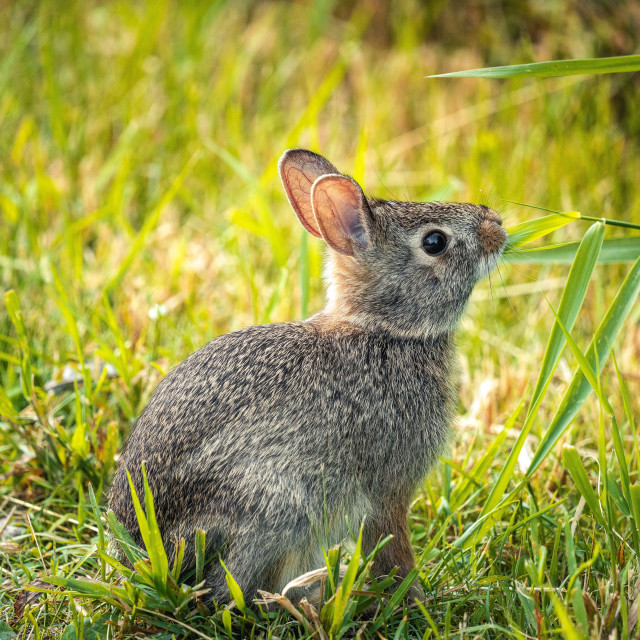 """""""close up of a rabbit eating grass along a trail"""" stock image"""
