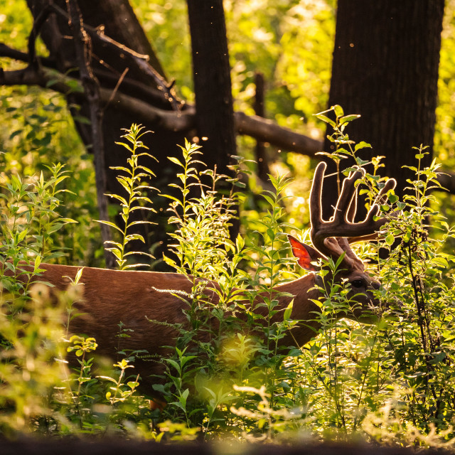 """backlit male deer eating underbrush at sunset"" stock image"