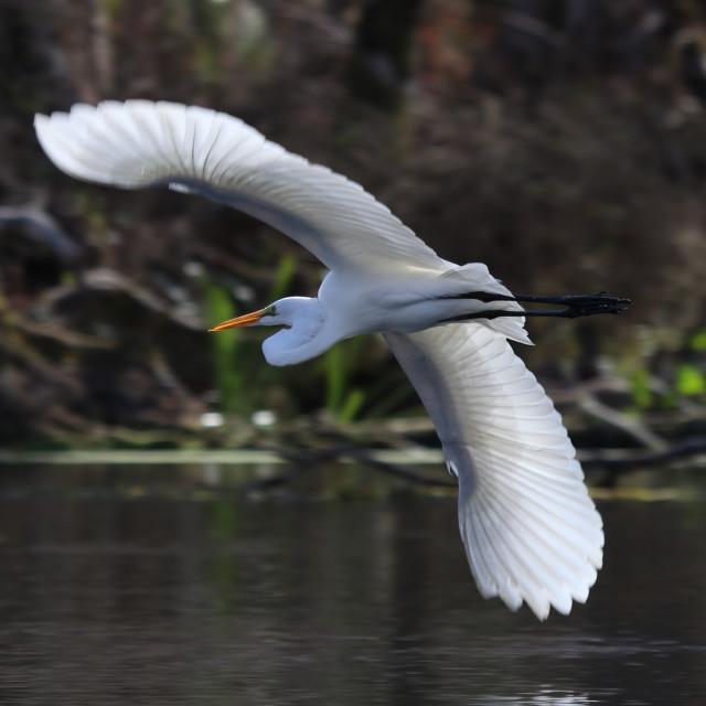 """Egret"" stock image"