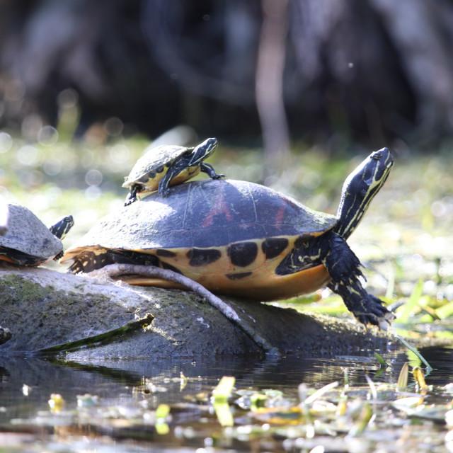 """Turtle Ride"" stock image"