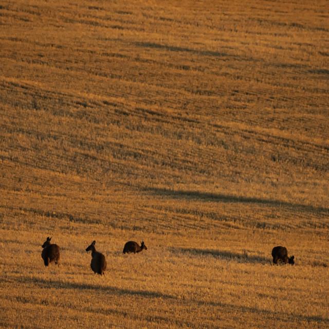 """""""Kangaroos at Tarlee"""" stock image"""