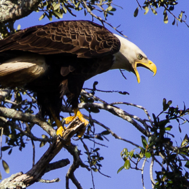 """A Bald Eagle Screeching Oklawaha Florida USA"" stock image"