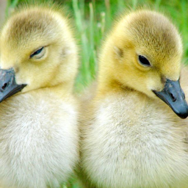 """""""Yellow Gosling Chicks - British Wildlife"""" stock image"""