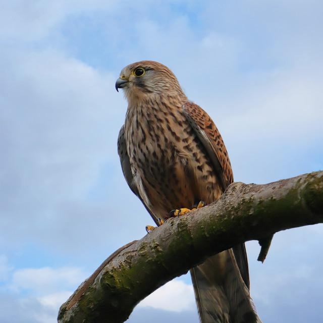 """Buzzard (Buteo buteo) British Bird of Prey"" stock image"
