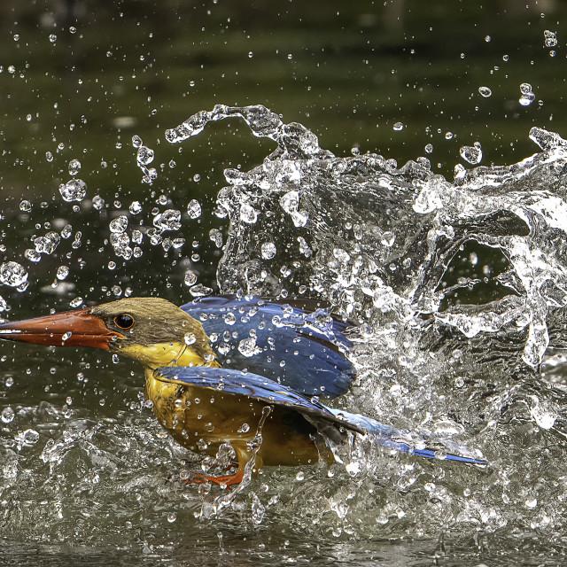 """Diving Stork billed kingfisher"" stock image"
