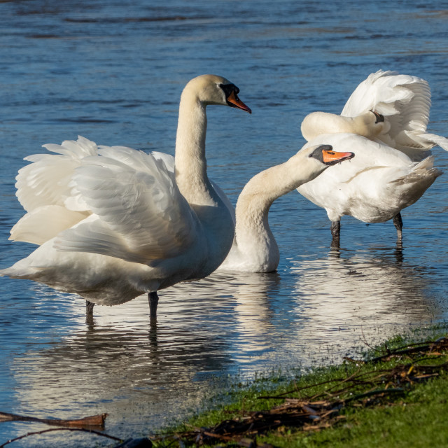 """Swans on a flooded river"" stock image"