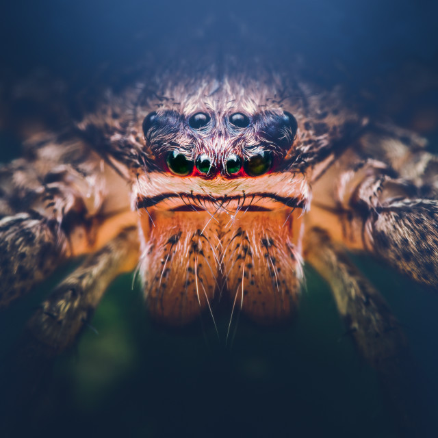 """Closeup of a Giant Crab Spider"" stock image"