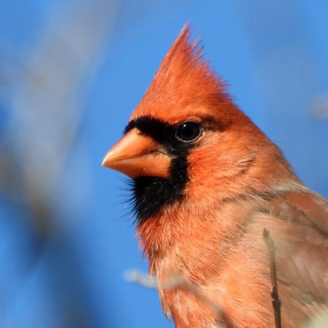 """""""Cardinal Closeup"""" stock image"""