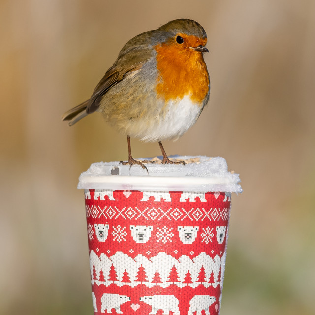 """""""Robin in the snow , Christmas cup"""" stock image"""