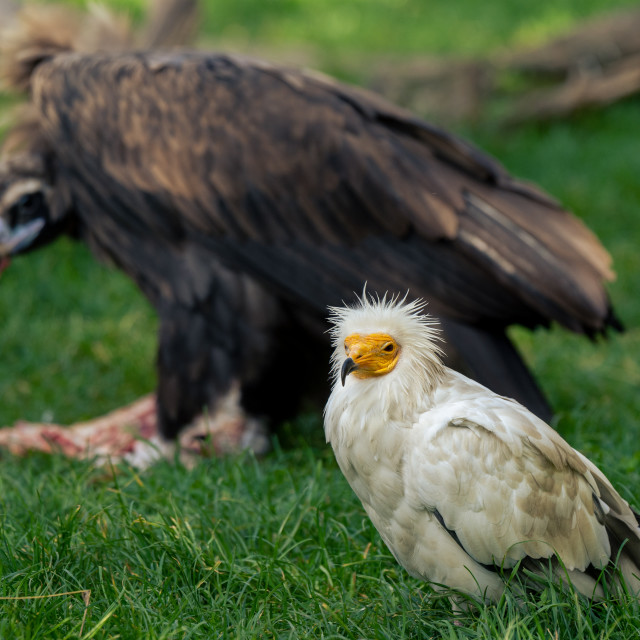 """Egyptian vulture together with the cinereous vulture."" stock image"