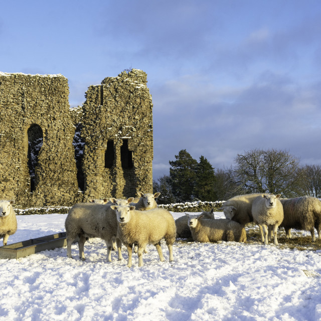 """""""Sheep near Bowes Castle in the winter sun"""" stock image"""