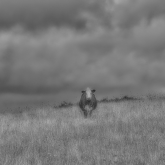 """""""The Three Cows Under The Storm Clouds - Black & White"""" stock image"""