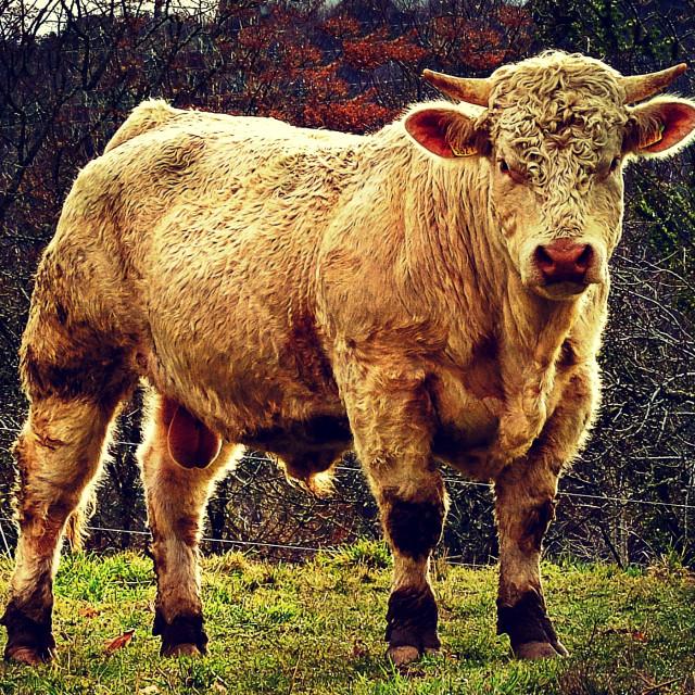 """Limousin Bull"" stock image"