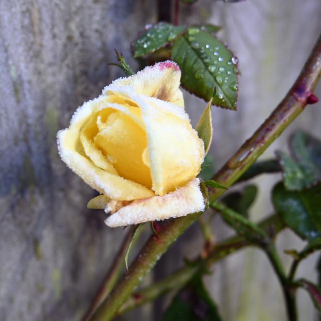 """""""Frosty rosebud"""" stock image"""