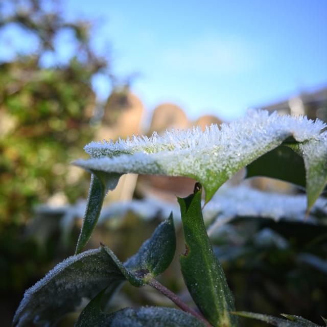 """Mahonia ice crystals"" stock image"