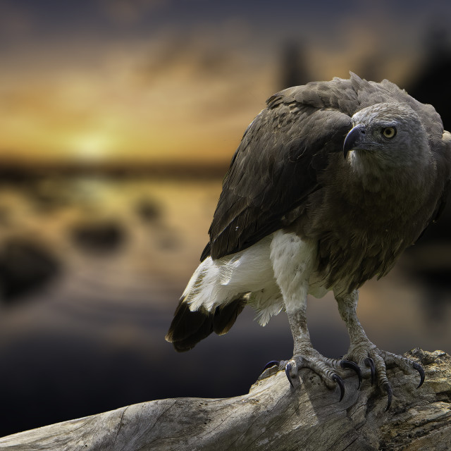 """""""Sunset eagle"""" stock image"""