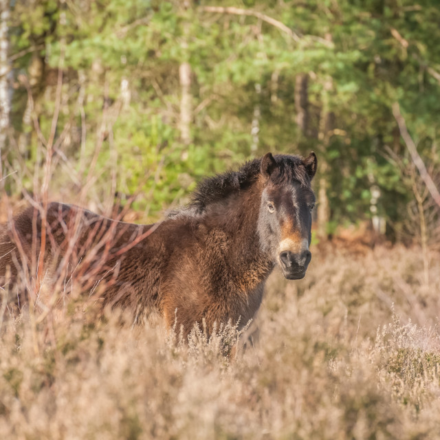 """Exmoor pony in heathland"" stock image"