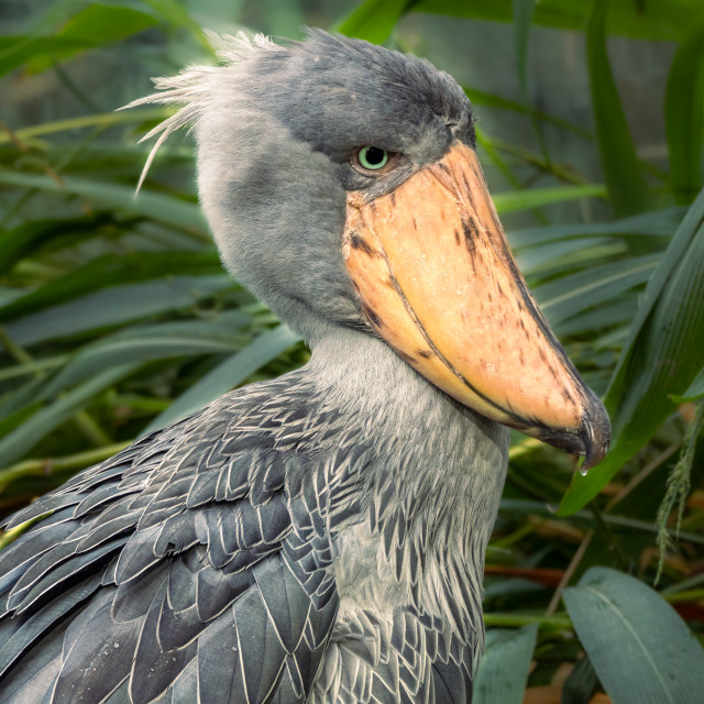 """Shoebill also known as whalehead (Balaeniceps rex)"" stock image"