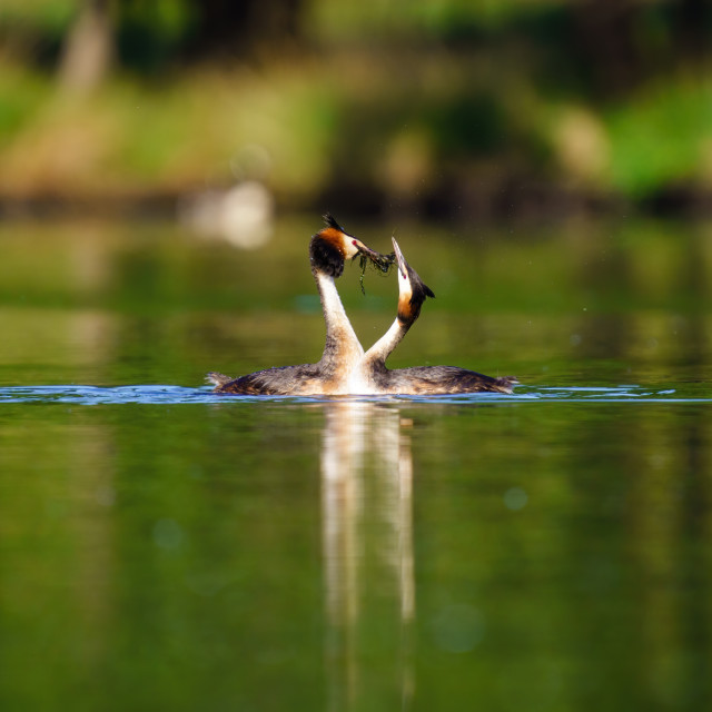 """""""Great Crested Grebe (Podiceps cristatus) pair during mating ritual, taken in..."""" stock image"""