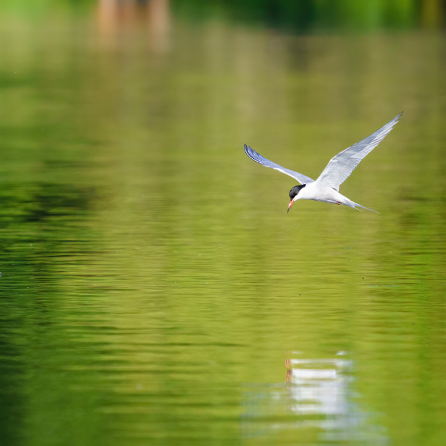 """""""Common Tern (Sterna hirundo) in flight low over water of a pond, London, UK"""" stock image"""
