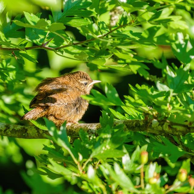 """Juvenile Wren (Troglodytes troglodytes) waiting for it's parent, taken in London"" stock image"
