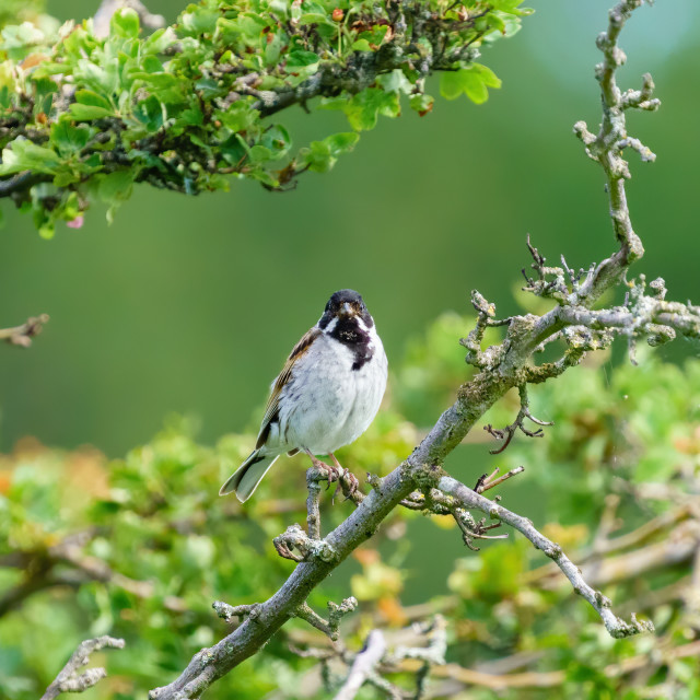 """""""Reed Bunting (Emberiza schoeniclus) male staring into the camera, taken in..."""" stock image"""