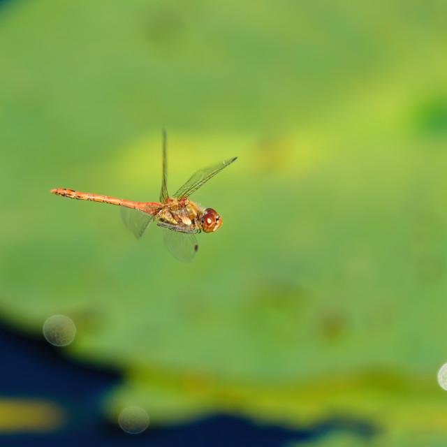 """Common darter (Sympetrum striolatum) in flight, taken in the UK"" stock image"