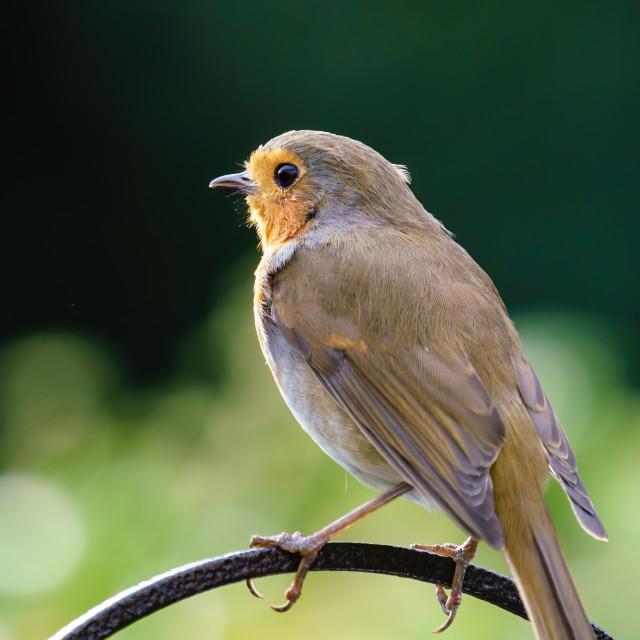 """""""European Robin (Erithacus rubecula) perche don a metal rod, taken in summer..."""" stock image"""