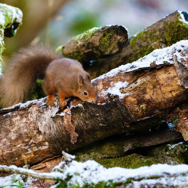 """red squirrel (Sciurus vulgaris) searching a log for food, taken in Scotland"" stock image"