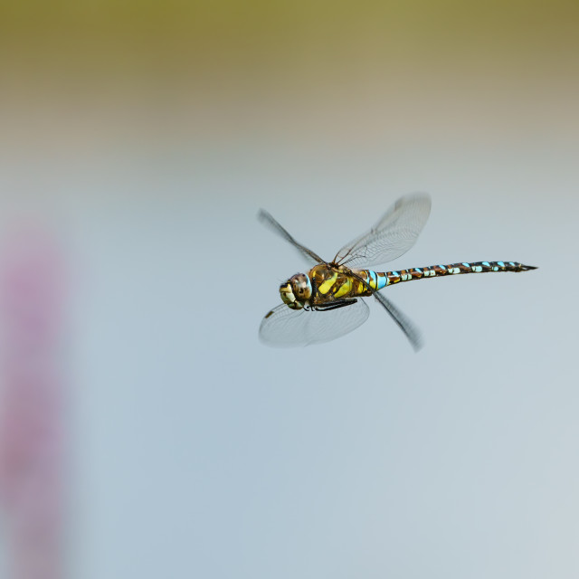 """A colourful Migrant hawker (Aeshna mixta) in flight, taken in London, UK"" stock image"