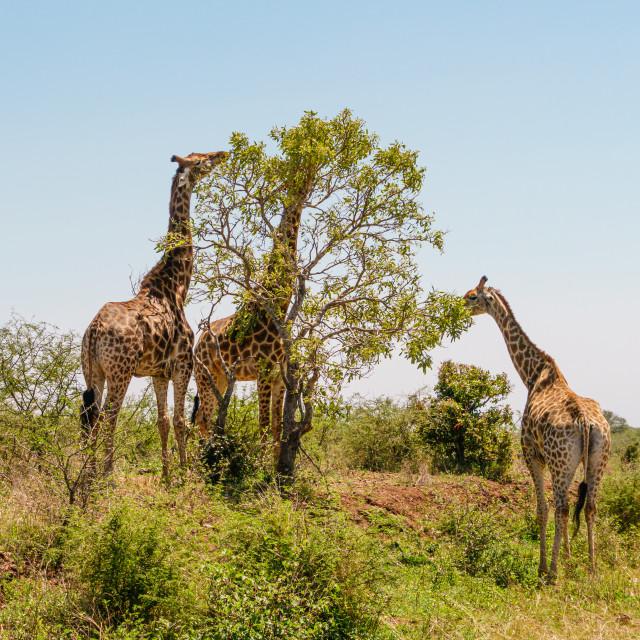 """Three Giraffe (Giraffa camelopardalis) feeding from a solitary bush, taken in..."" stock image"