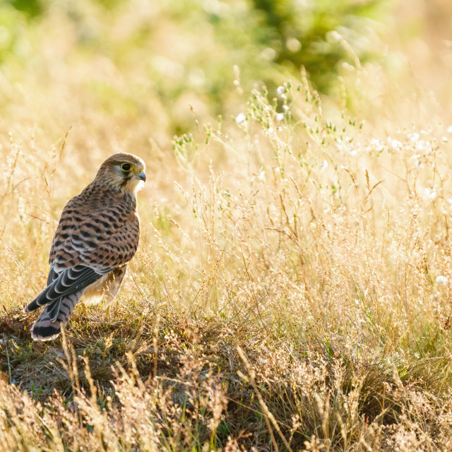 """Common Kestrel (Falco Tinnunculus) juvenile on ground in Bushy Park backlit..."" stock image"
