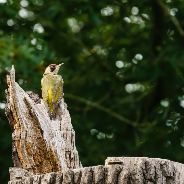 """""""Green Woodpecker (Picus viridis) perched on top of a dead tree trunk, taken..."""" stock image"""
