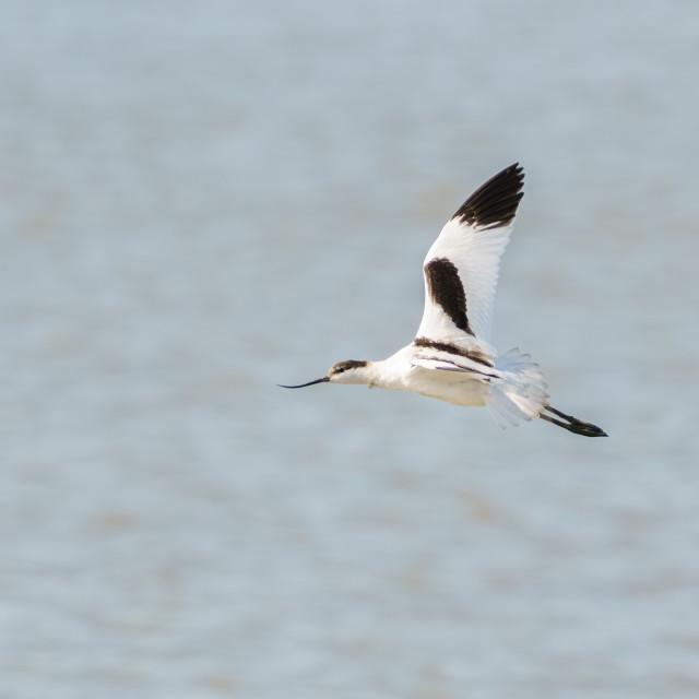 """""""Pied Avocet (Recurvirostra avosetta) flying over the Thames Estuary, England"""" stock image"""