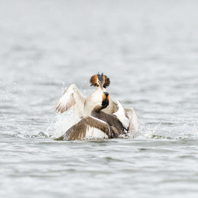 """""""Pair of Great Crested Grebe (Podiceps cristatus) battling for dominance,..."""" stock image"""