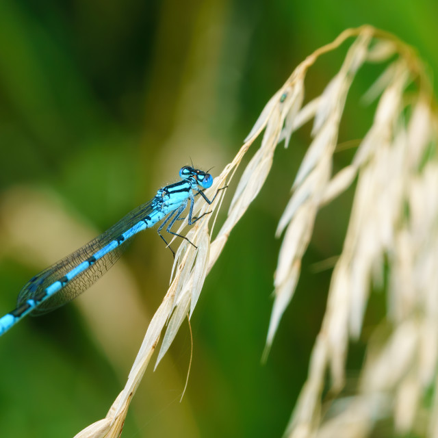 """""""Common Blue Damselfly (Enallagma cyathigerum) perched on the end of grass,..."""" stock image"""
