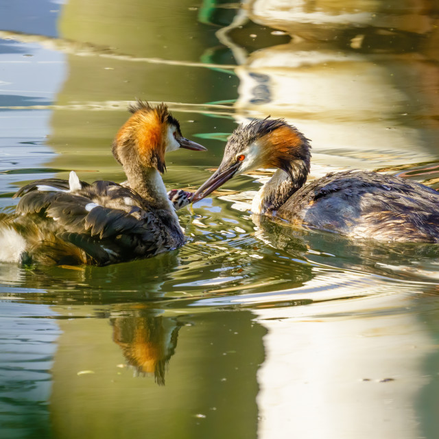 """""""Great Crested Grebe (Podiceps cristatus) chick riding one parent while being..."""" stock image"""
