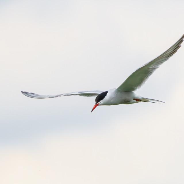 """Common Tern (Sterna hirundo) in flight on a cloudy day, London, UK"" stock image"