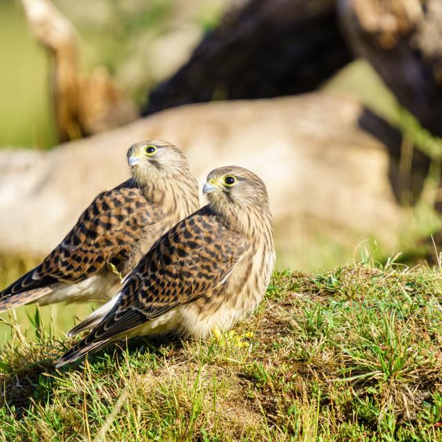 """Common Kestrel (Falco Tinnunculus) juvenile siblings looking over their..."" stock image"