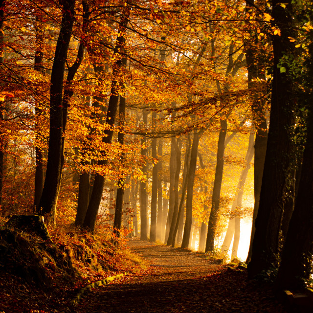 """""""Sunrays through a forest"""" stock image"""
