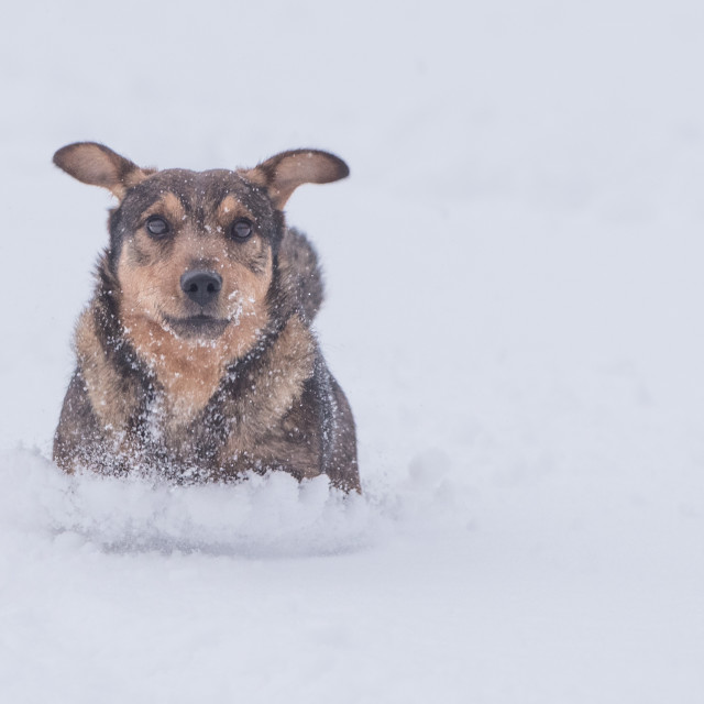 """""""Isolated cute little dog playing in the snow on a cold winter day"""" stock image"""