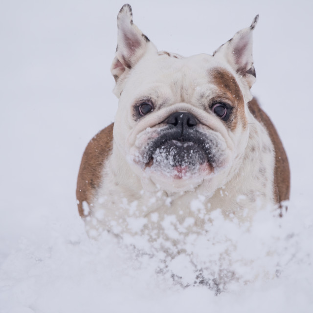 """""""Isolated cute little English bulldog playing in the snow on a cold winter day"""" stock image"""