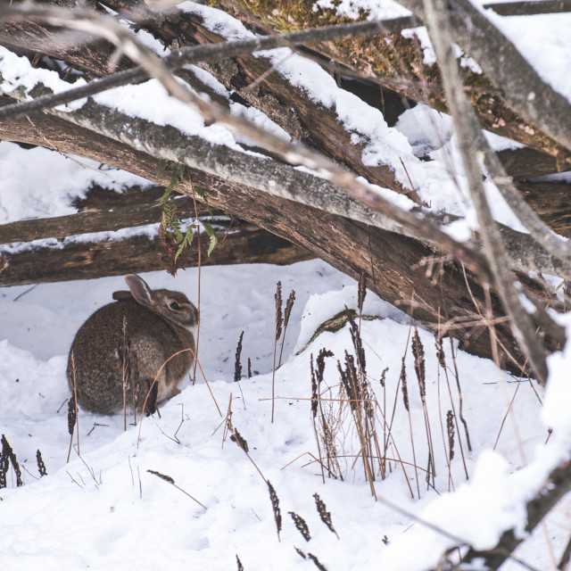 """""""Cottontail rabbit hiding under branches in snow"""" stock image"""