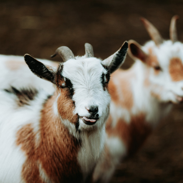 """""""Cheeky Goat"""" stock image"""