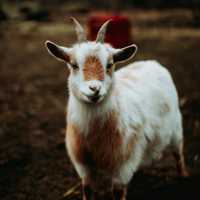 """""""Short Arse Goat"""" stock image"""