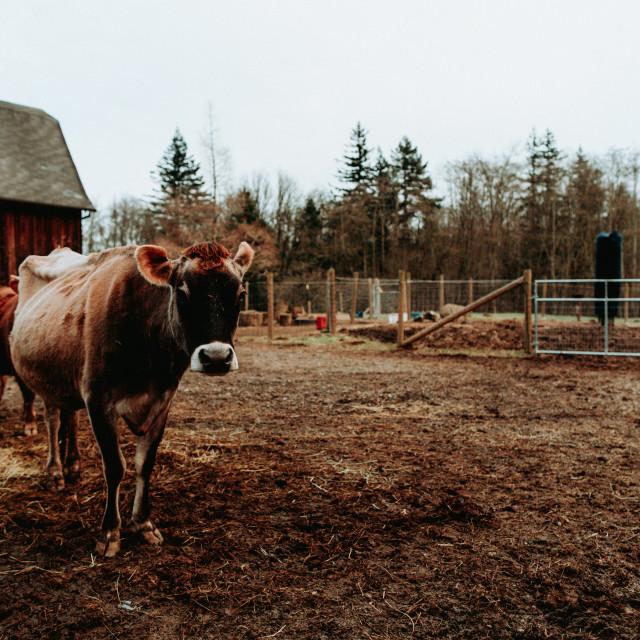 """Cow Curiosity"" stock image"